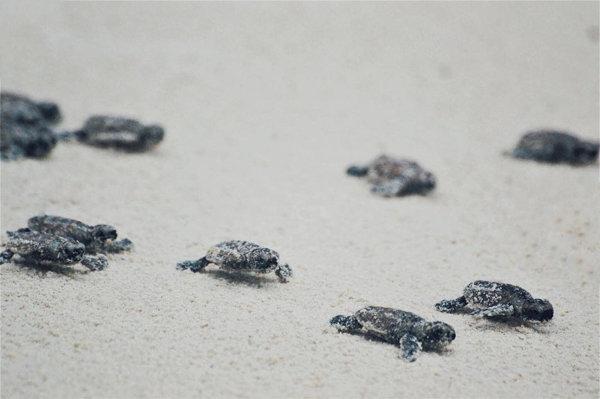 Hawksbill Baby Turtles At Tengah Island