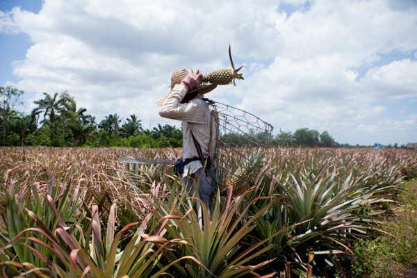 Pontian Pineapple Farms
