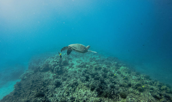 sea turtle spotted in malaysia during island snorkeling package