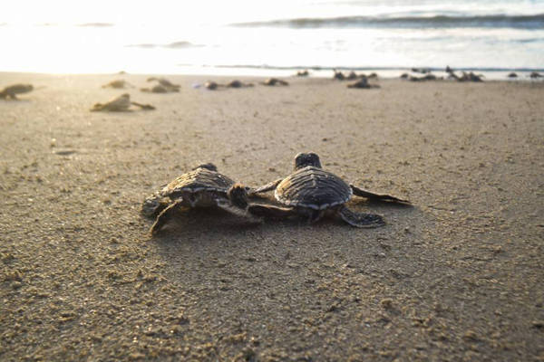 hatching release of green turtle at Tioman Island