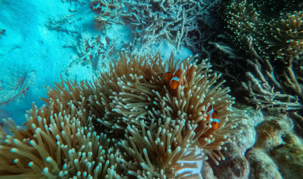 two clownfish spotted in malaysia during island snorkeling package